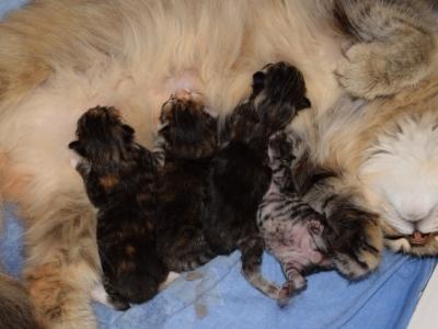 Drinkende kittens van twee dagen oud